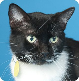 Domestic Shorthair Cat for adoption in Libertyville, Illinois - Jayne