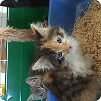 Adopt A Pet :: calico female kitten - Manasquan, NJ