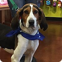 Adopt A Pet :: Cleo - Potomac, MD