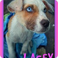 Adopt A Pet :: LACEY - Devine, TX