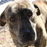 Mastiff Mix Dog for adoption in San Antonio, Texas - Blaze