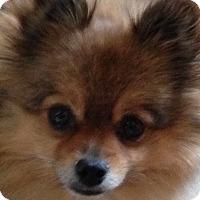 Adopt A Pet :: Belle - Washington, PA