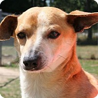Dachshund Mix Dog for adoption in West Columbia, South Carolina - Brad