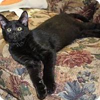 Domestic Shorthair Cat for adoption in Walworth, New York - Hershey