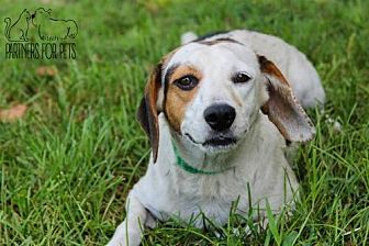 Beagle Mix Dog for adoption in Troy, Illinois - Loretta Fostered (Matt H)
