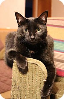 Domestic Shorthair Cat for adoption in Rochester, Minnesota - Murphy
