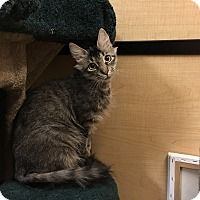 Domestic Longhair Cat for adoption in Riverside, California - Hope