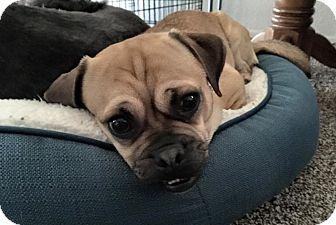 Pug/Beagle Mix Dog for adoption in Phoenix, Arizona - Barnabee