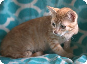 Domestic Shorthair Kitten for adoption in Spring Valley, New York - Rusty