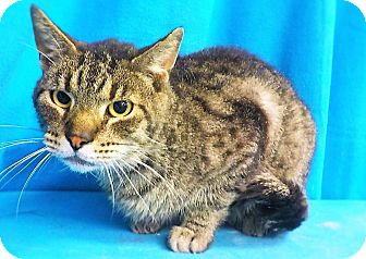 Domestic Shorthair Cat for adoption in Waldorf, Maryland - Cal
