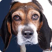 Adopt A Pet :: Amelia - Sudbury, MA