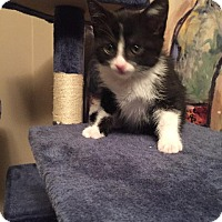 Domestic Shorthair Kitten for adoption in Fenton, Missouri - Areia