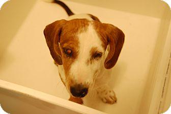 Dachshund Puppy for adoption in Minot, North Dakota - Ray Charles
