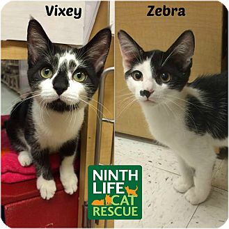Domestic Shorthair Cat for adoption in Oakville, Ontario - Vixey & Zebra