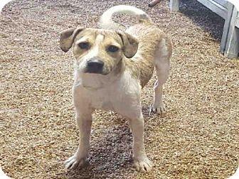 Beagle Mix Dog for adoption in Houston, Texas - LOUIE