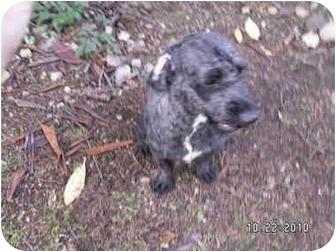 Cockapoo Mix Dog for adoption in Graham, Washington - Monty