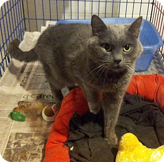 Domestic Shorthair Cat for adoption in Geneseo, Illinois - Widget