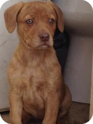 Hound (Unknown Type) Mix Puppy for adoption in Russellville, Kentucky - Sissy