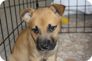 Boxer/Shepherd (Unknown Type) Mix Puppy for adoption in Marlton, New Jersey - Baby Chip