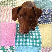 Adopt A Pet :: Boomer - Los Angeles, CA