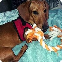 Adopt A Pet :: Redd Foxx - Decatur, GA