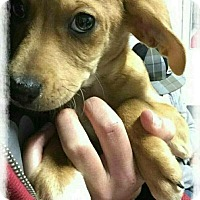 Blue Heeler/Australian Shepherd Mix Puppy for adoption in Mandeville, Louisiana - Wesley