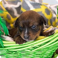 Adopt A Pet :: Squirt - $250 - Seneca, SC