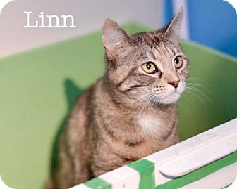 Domestic Shorthair Cat for adoption in West Des Moines, Iowa - Linn