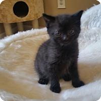 Adopt A Pet :: Chachi - Turnersville, NJ