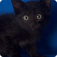 Adopt A Pet :: Johnny - Gilbert, AZ