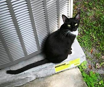 Domestic Shorthair Cat for adoption in DeLand, Florida - TIPPYTOE-Emotional Support Animal