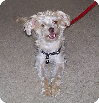 Silky Terrier Mix Dog for adoption in Piqua, Ohio - Lucy - Adoption Pending