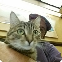 Domestic Shorthair Cat for adoption in Manchester, Connecticut - Meeya (in CT)