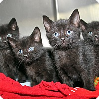 Domestic Mediumhair Kitten for adoption in Marietta, Ohio - Savannah Seth Sierra Simon