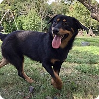 Shepherd (Unknown Type) Mix Dog for adoption in San Francisco, California - Shyla