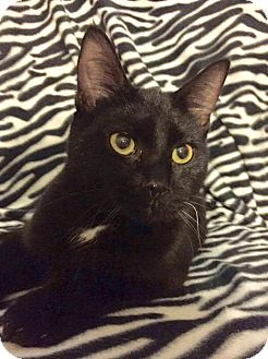 Domestic Shorthair Kitten for adoption in Davison, Michigan - Andy
