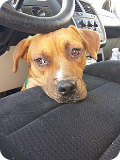 Boxer/Hound (Unknown Type) Mix Dog for adoption in Snow Hill, North Carolina - Josie