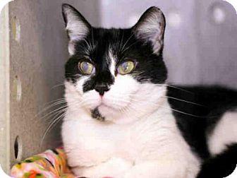 Domestic Mediumhair Cat for adoption in Louisville, Kentucky - DOT