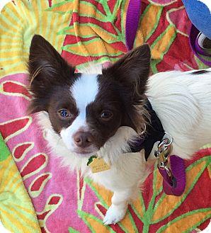 Papillon Mix Dog for adoption in Fremont, California - Niko