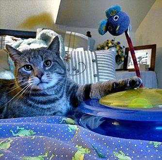 Domestic Shorthair Cat for adoption in Brainardsville, New York - Murray
