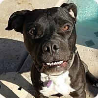 Bulldog Mix Puppy for adoption in Sherman Oaks, California - Jaxon