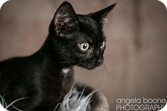 Domestic Shorthair Cat for adoption in Eagan, Minnesota - Yoshi