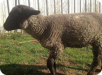 Sheep for adoption in Newcastle, California - Trinket