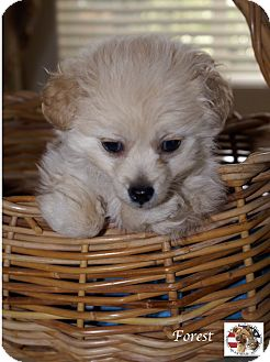 Poodle (Toy or Tea Cup)/Pomeranian Mix Puppy for adoption in Encino, California - Forest