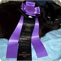 Domestic Mediumhair Cat for adoption in Longview, Washington - BLUE RIBBON Cat