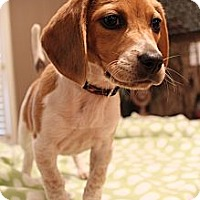 Adopt A Pet :: Bikini - Wytheville, VA
