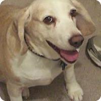 Adopt A Pet :: Caramel - Phoenix, AZ