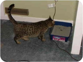 Bengal Cat for adoption in East Tawas, Michigan - Progotta