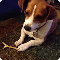Adopt A Pet :: Norbert - Millersville, MD
