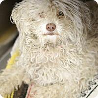 Adopt A Pet :: Clover - no shed! - Phoenix, AZ